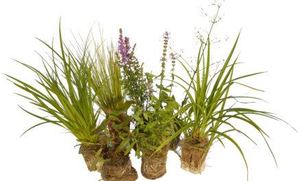 Växtval till Rain Garden och andra infiltrationsbäddar